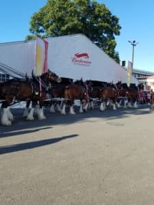 Clydesdale horses march with Budweiser tnet in the background