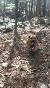 Puggle dog walking through the woods