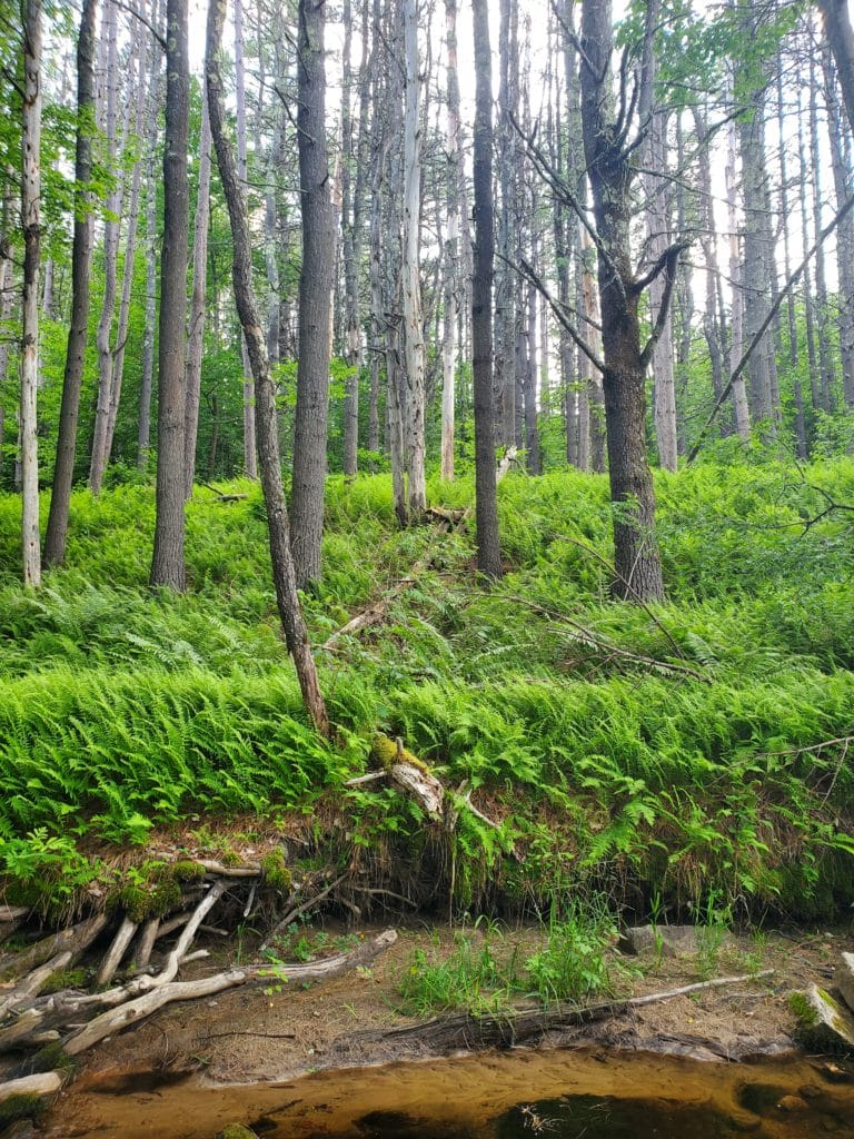 A brook's embankment full of ferns as the forest stretches further,