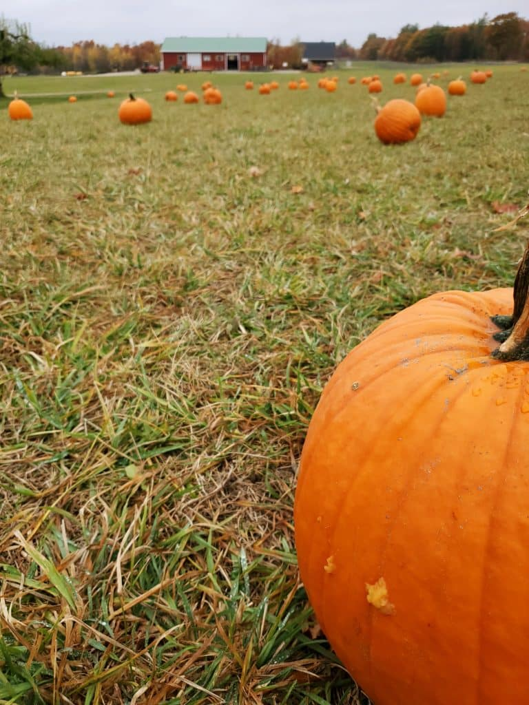 Camera focuses on a pumpkin near the edge of the image with several others in the field stretching through the background. A red bar is at the far edge of the field.