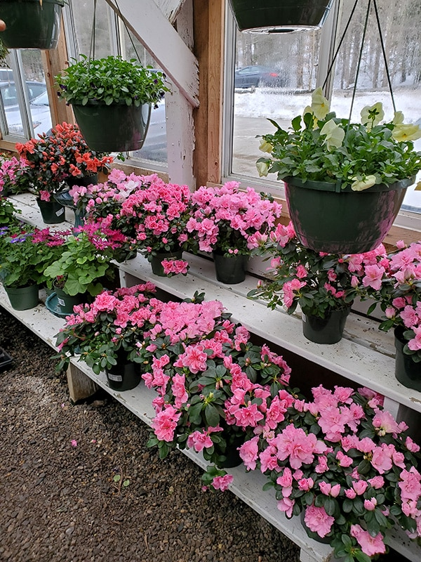 Rows of pink flowers and hanging plants in bloom