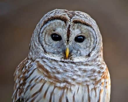 A white and tan owl staring directly at the camera