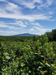 Blueberry bushes in the foreground, Mount Monadnock in the background