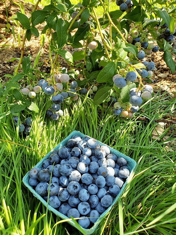 Blueberries hang from bush branches just above a carton of picked ones placed on the ground.