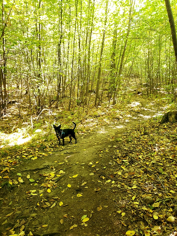 thin tree saplings line a trail covered in yellow leaves while a dog stands by