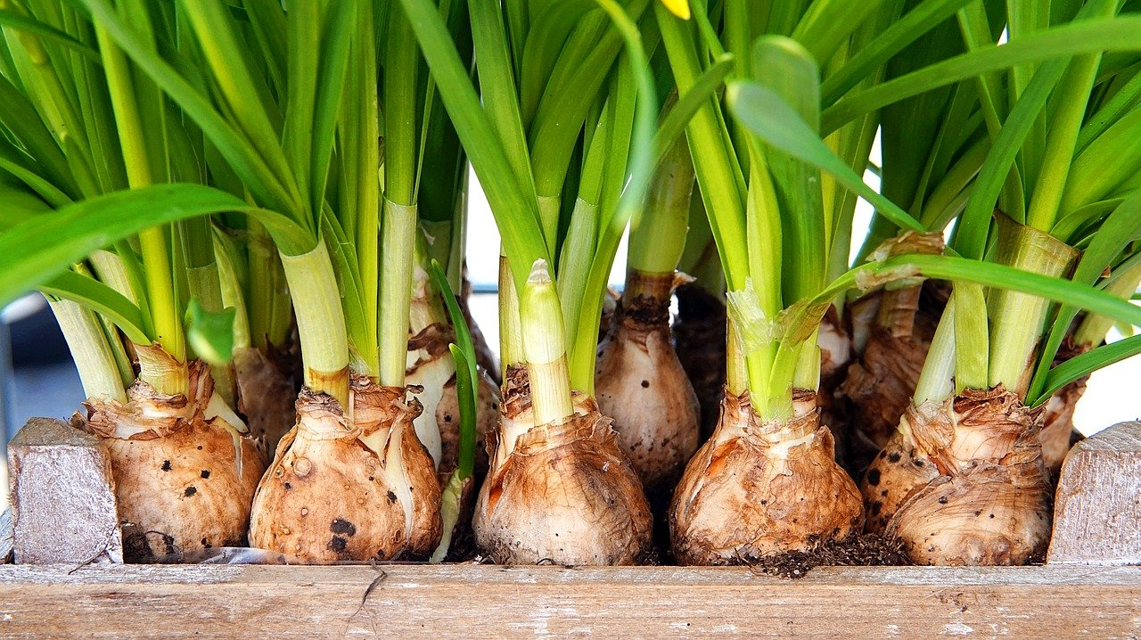 flower bulbs arranged in a wooden box with green stalks