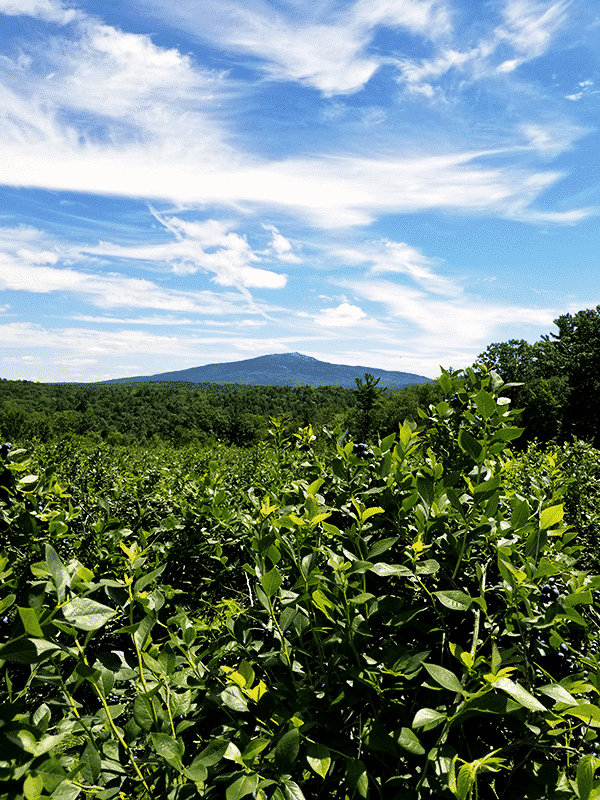 Blueberry bushes in the foreground are looked over by Mount Monadnock in the backdrop.