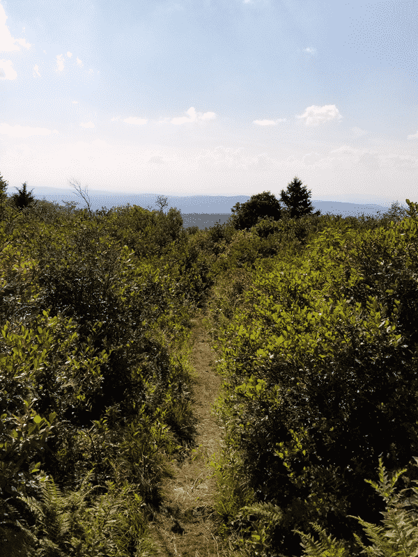 a pathway between blueberry bushes on either side sit in the forefront of a view of the hills surrounding