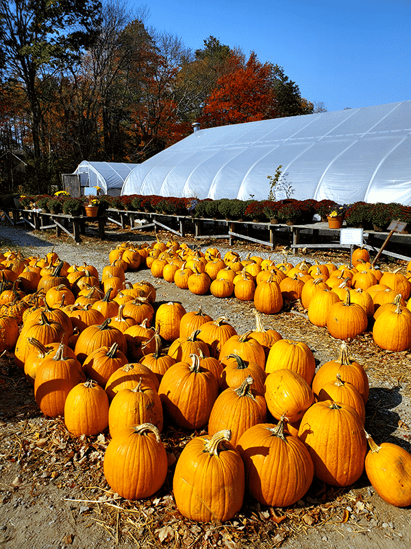 two rows of bright orange pumpkins with a walkway between. A greenhouse sits in the background